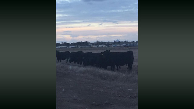 Deputies search for owner of wandering cattle