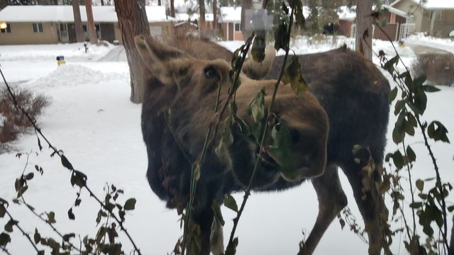 Momma and baby moose stop by Spokane Valley home