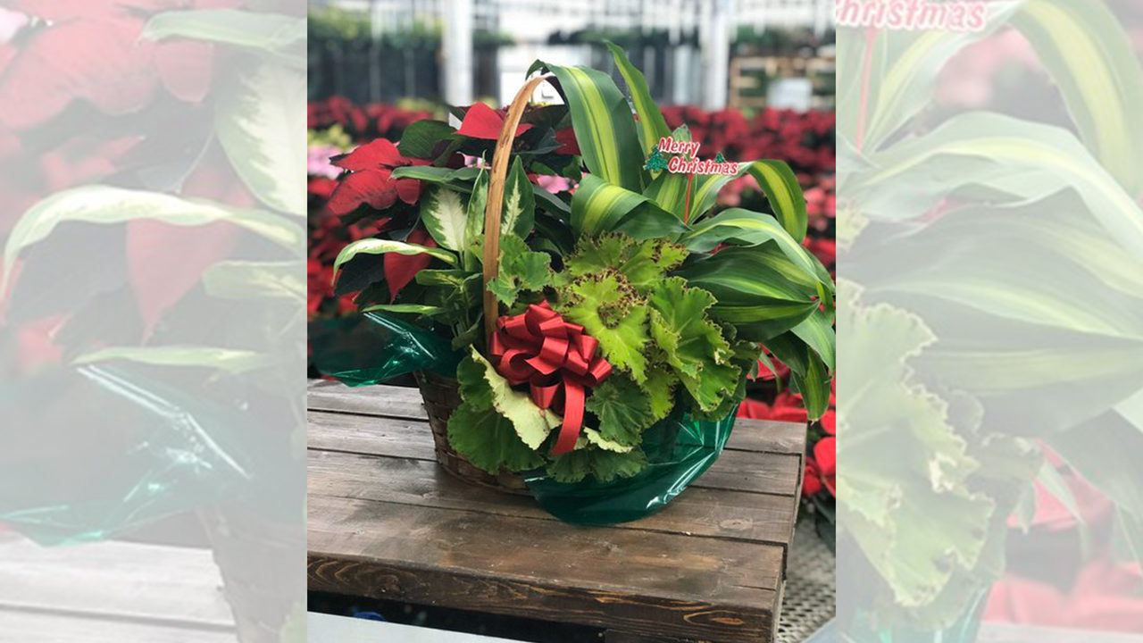 #happylife: Free Poinsettia Tours begin at the the Plant Farm