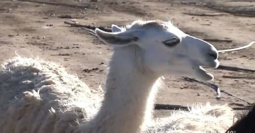 Investigators say about 30 llamas are missing after they were stolen from an exotic farm.